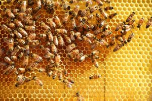 honey comb bees